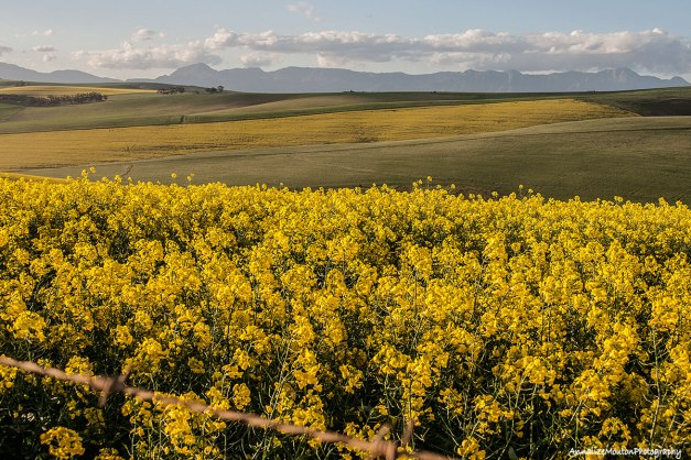 Canola fields towards the Riviersonderend mountains