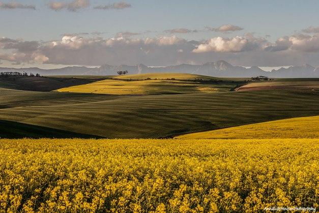 Canola and wheat fields…
