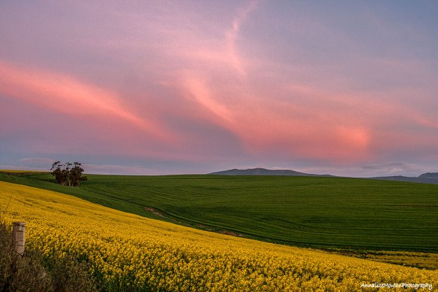 Pink feathers over the canola and wheat fields