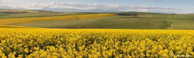 Panorama of golden yellow canola fields and green wheat fields