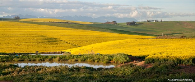 More canola fields