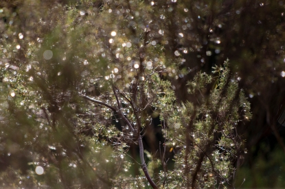 Sunlight through raindrops… a fairy lanterned buchu bush!