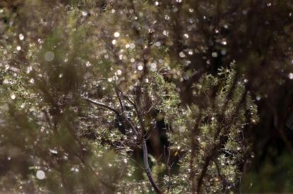 Sunlight through raindrops… a fairy lanterned buchu bush!