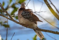 Cape turtle dove…