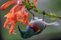 A Southern double-collared sunbird haging upside down to get the nectar from a Tecomaria Capensis flower…