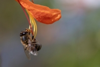 Bee on stamen of Tecomaria Capensis flower