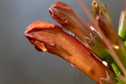 Raindrops on Tecomaria Capensis flower