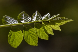 New leaf of Tecomaria Capensis