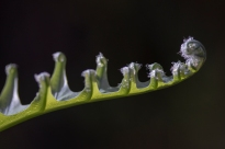Furls of fern leaf