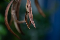 Old seedpods of the Tecomaria Capensis