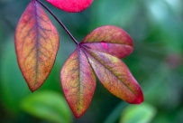Leaves of the Heavenly Bamboo (Nandina domestica 'Pygmaea')