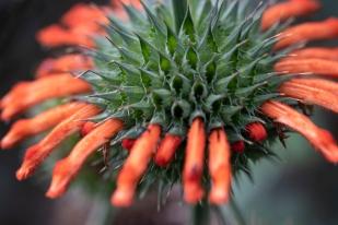 Flower and seedpod of Wild Dagga, Leonotis Leonurus