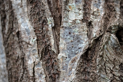 Bark of Jamboes tree, Eugenia jambos L.