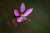 Pink flowering butterfly bush