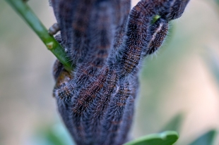Larvae of some kind of moth… It might be processionary caterpillars s.a.… http://hesc.co.za/2014/06/look-out-before-you-follow-this-leader-by-kobus-erasmus/